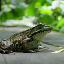 Frog Close Up 2